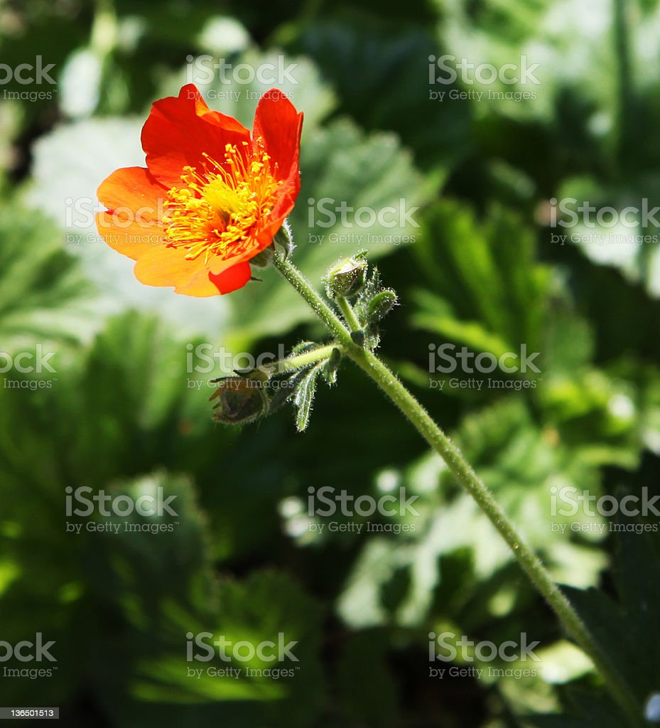 Caltha palustris royalty-free stock photo