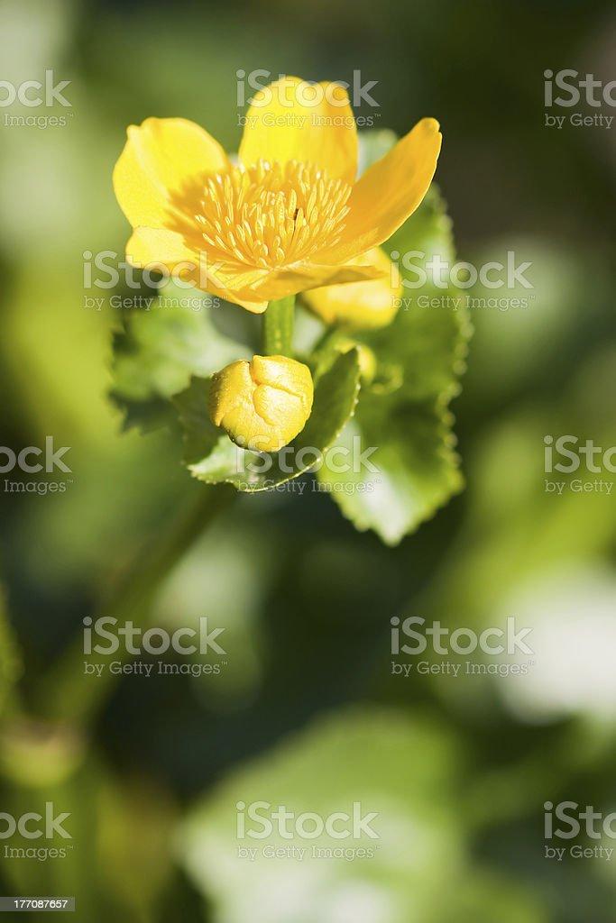 Caltha palustris stock photo