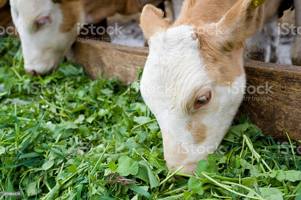 calves eating green rich fodder royalty-free stock photo