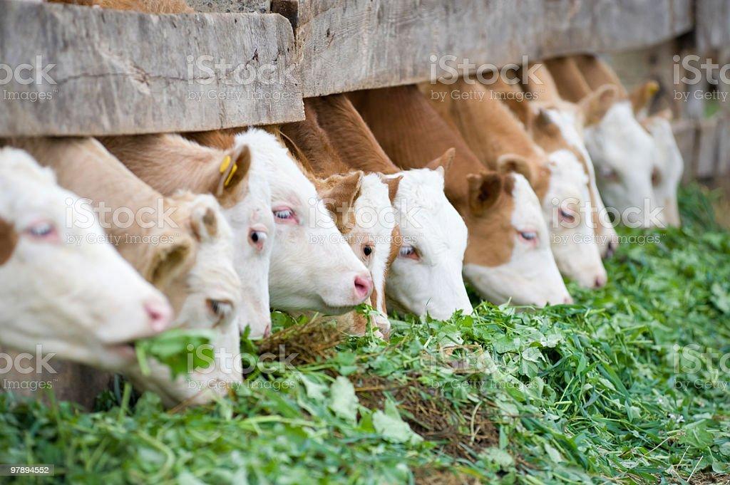 calves eating green rich fodder royalty-free stock photo