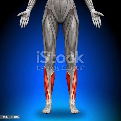 496193203istockphoto Calves - Female Anatomy Muscles 496193185