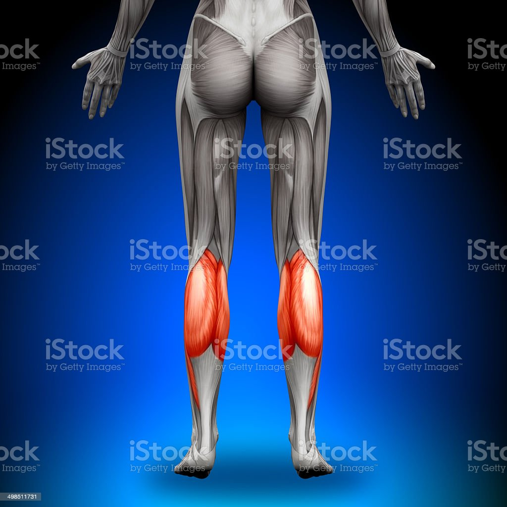 Calves - Female Anatomy Muscles stock photo