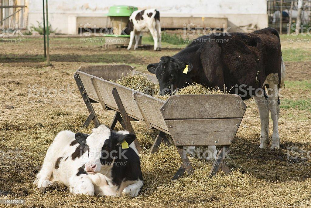 Calves Holando-Argentino and Feeding Trough royalty-free stock photo