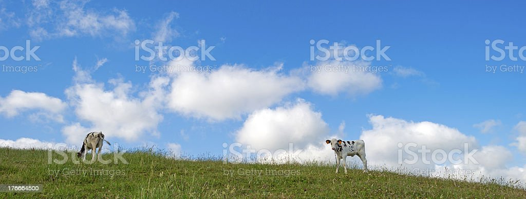 Calves in a meadow on the Azores royalty-free stock photo