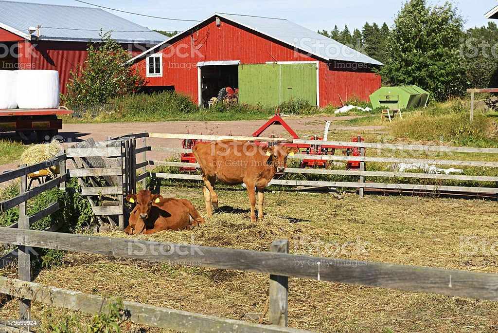 Calves on farm royalty-free stock photo