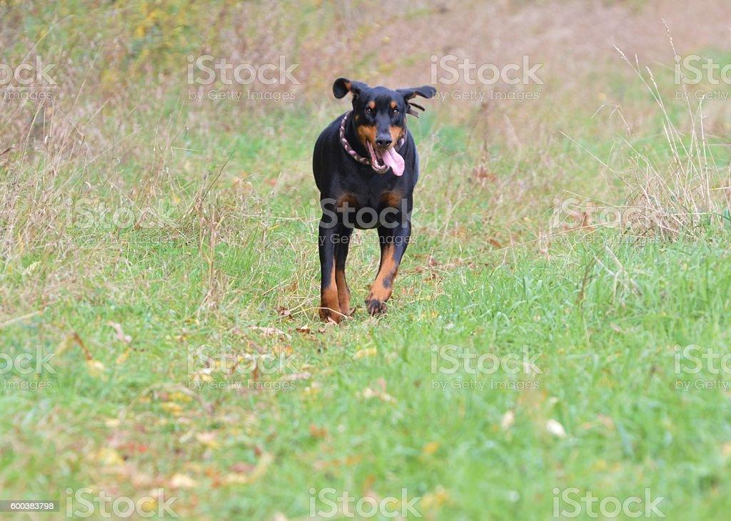 Calypso running in a field in Vicksburg, MI