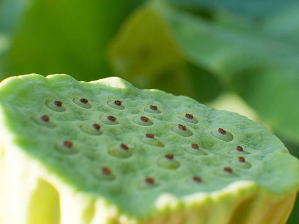 cálice de sementes de lótus na natureza. - lian empty imagens e fotografias de stock