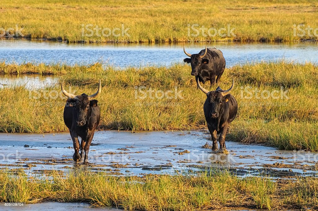 Camarguais bulls in swamp, France stock photo