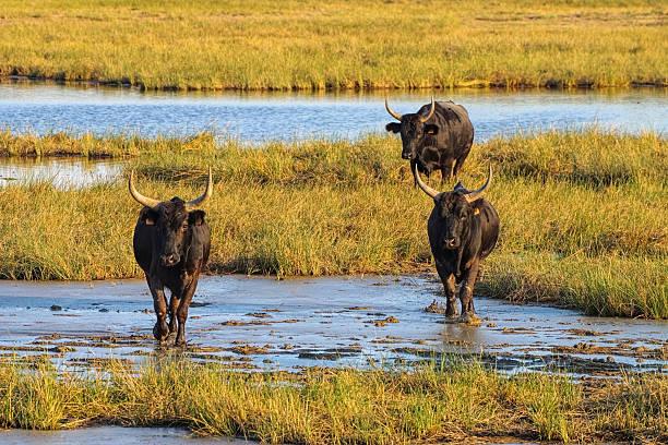 Camarguais bulls in swamp, France – Foto