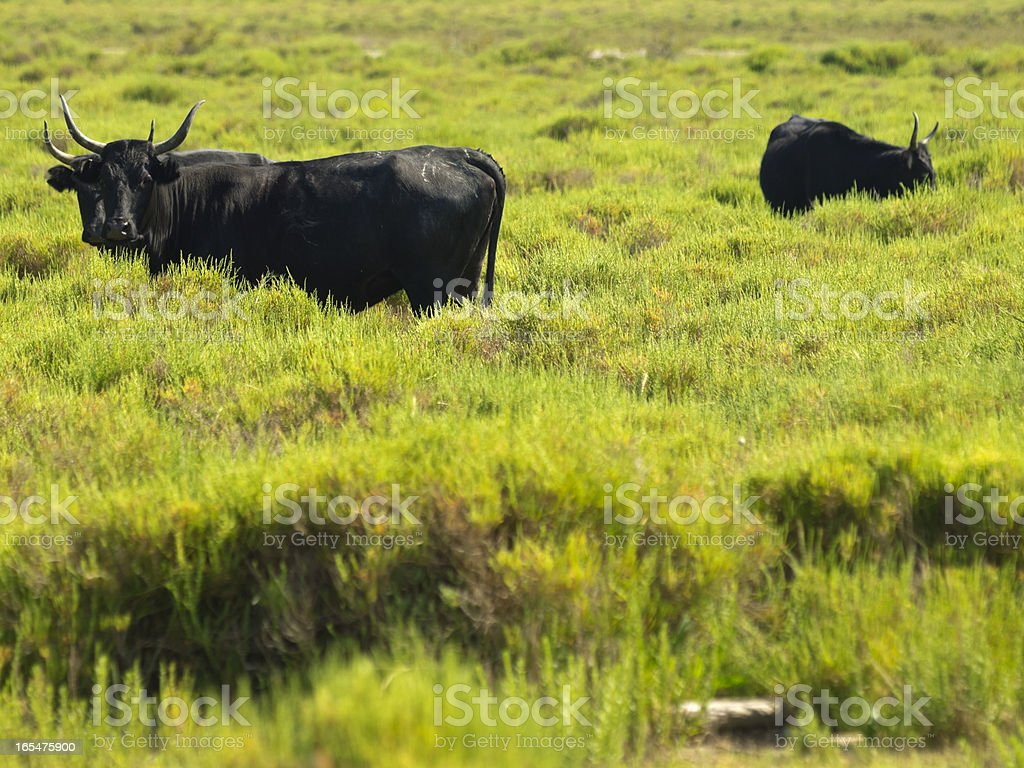 Camargue bulls stock photo
