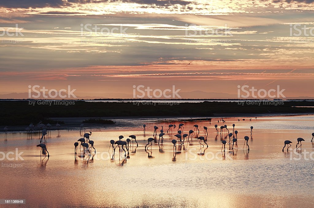Camargue flamingos, France royalty-free stock photo