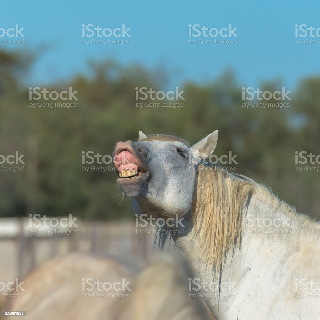 Camargue horse neighing stock photo