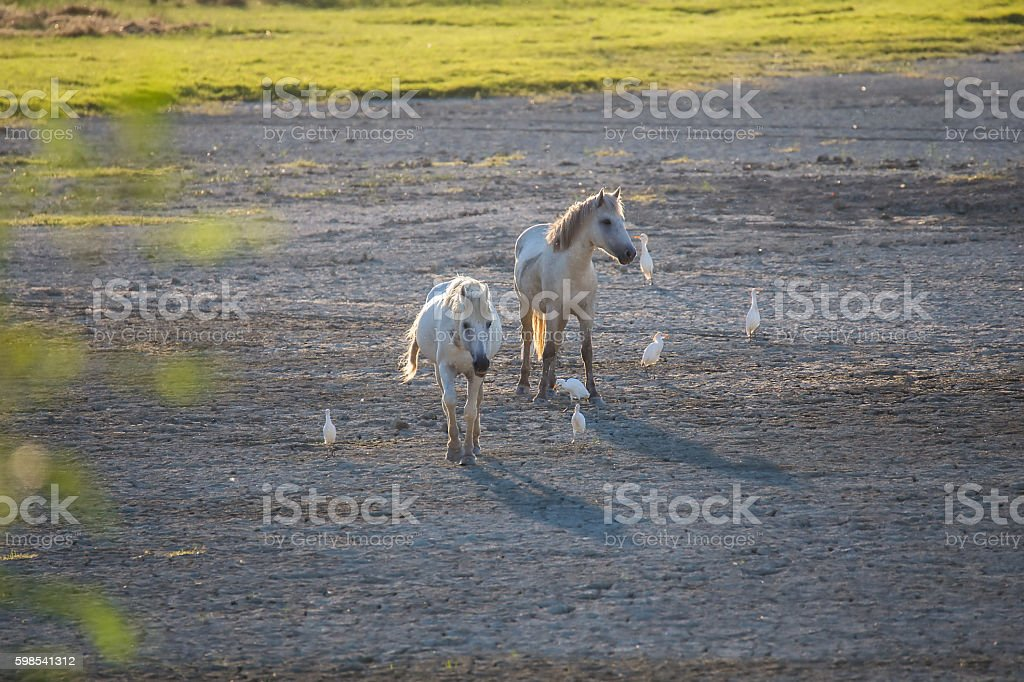 Camargue horses and cattle ergets in backlight photo libre de droits