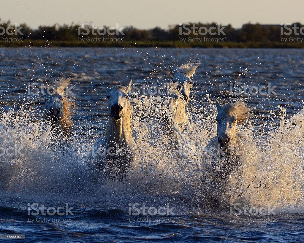 Camargue Horses at sunrise stock photo