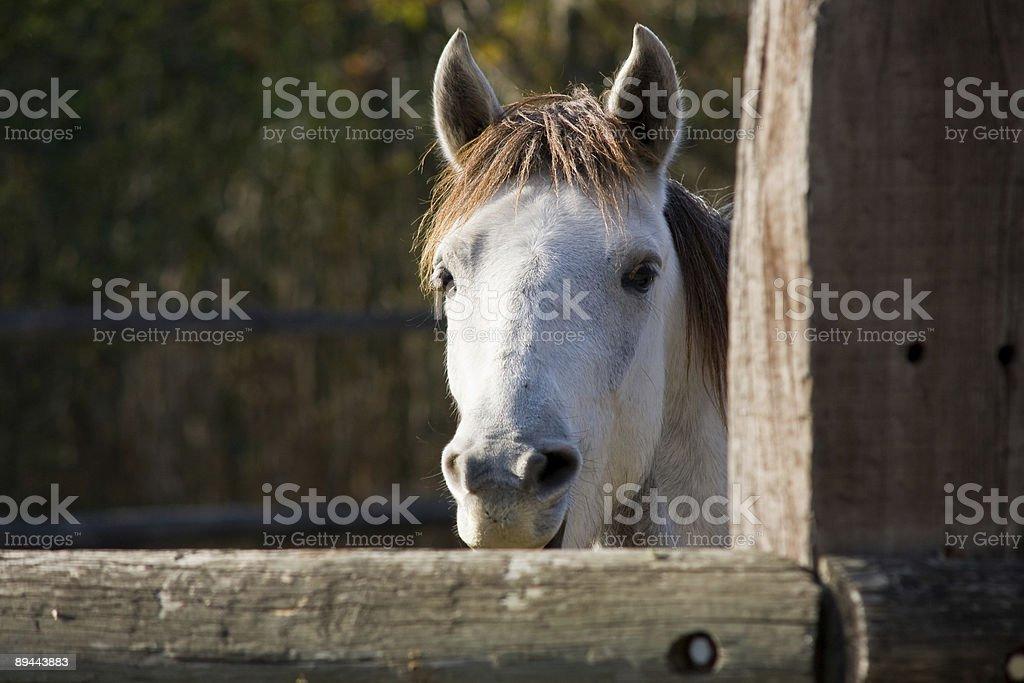 Camargue White Horse royalty-free stock photo