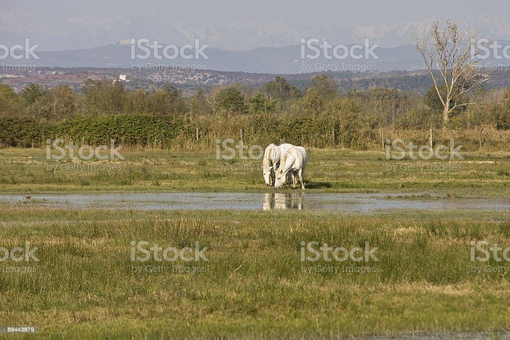 Chevaux de Camargue blanc photo libre de droits