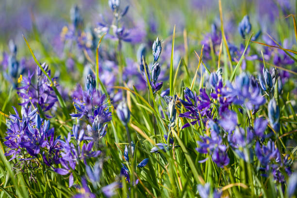 Camassia in Beacon Hill Park, Victoria, BC stock photo