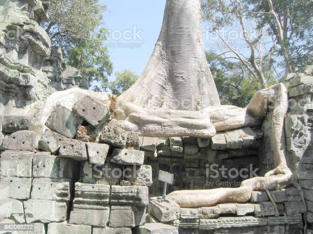 Cambodia, the roots of the tree which has sprouted in stones of an ancient Buddhist temple