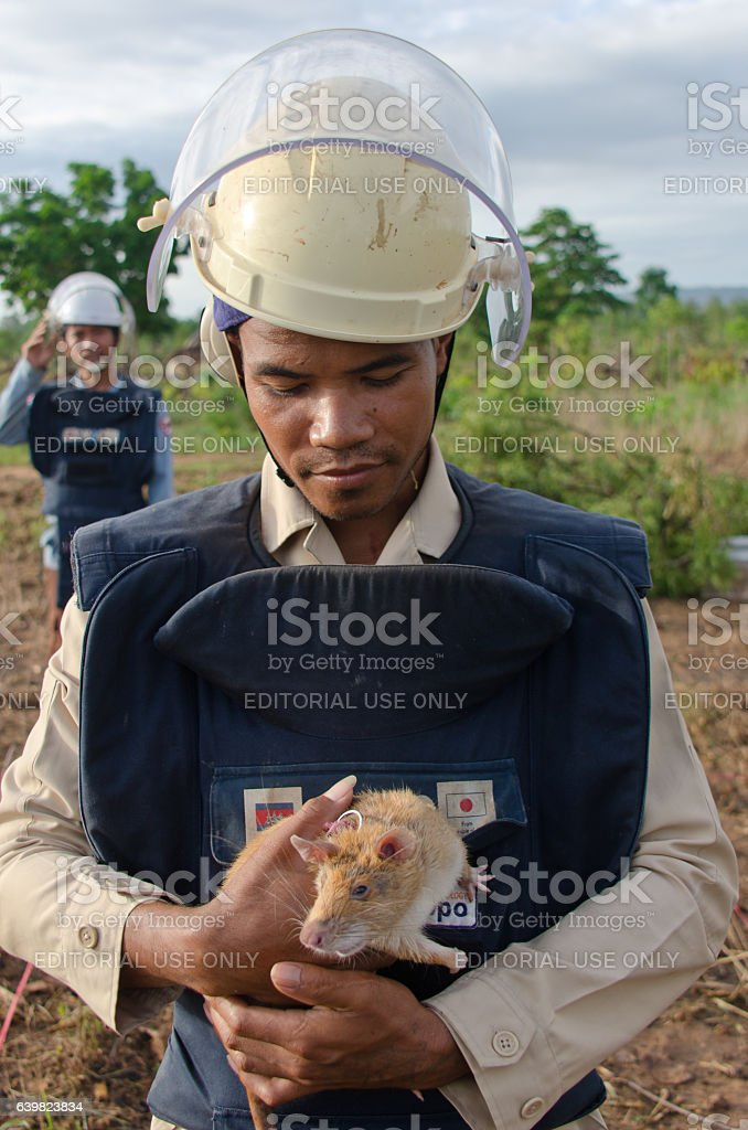 Cambodian mine-sniffing rat and handler stock photo