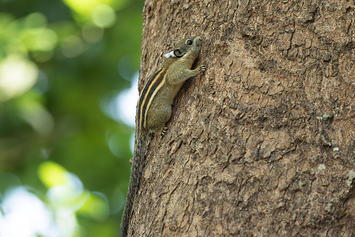 A Cambodian Striped Tree Squirrel (Tamiops rodolphei) gleaning the tree bark