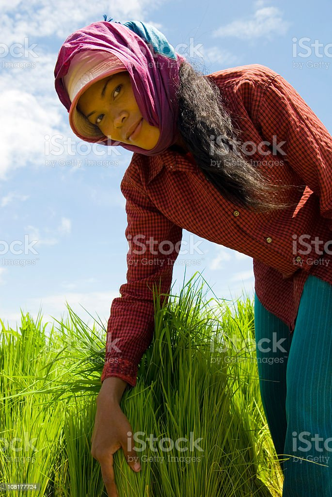 Cambodian Woman Working in Rice Paddy royalty-free stock photo