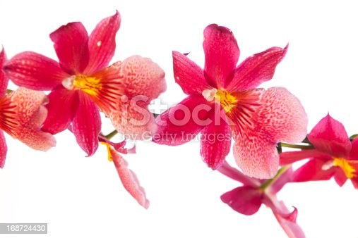 Cambria orchid on white background
