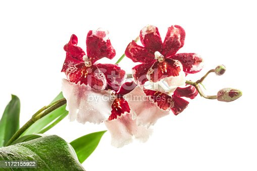Cambria Orchid or Vuylstekeara Orchid isolated on white background