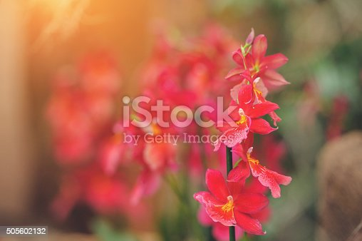 Beautiful red Cambria orchid