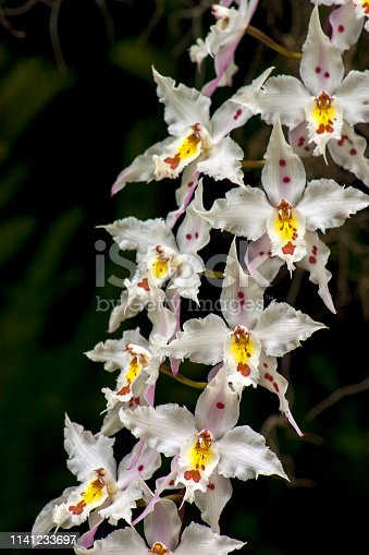 Close-up of a bouquet of white, yellow and red cambria orchid flowers.Photographed in the Andean mountains of central Colombia.