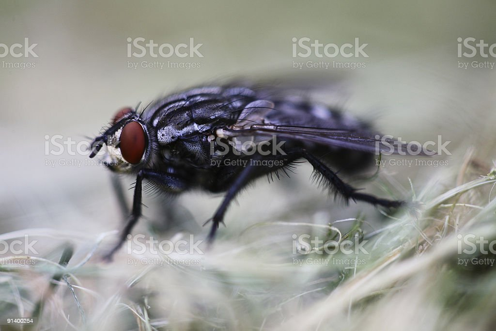 Cambridge Flesh fly royalty-free stock photo