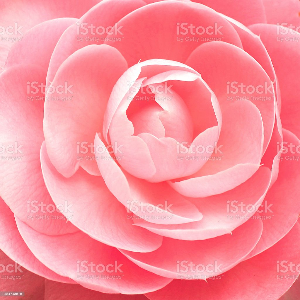 Cameellia flower background close-up stock photo