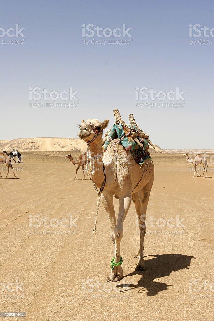 Camel 1 royalty-free stock photo