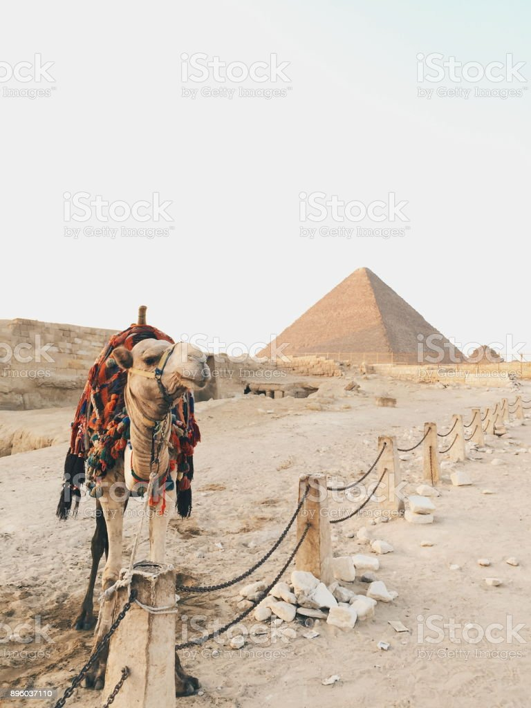 Camel amd pyramid stock photo
