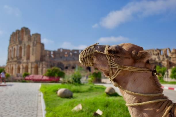 kamel und amphitheater - urlaub in tunesien stock-fotos und bilder