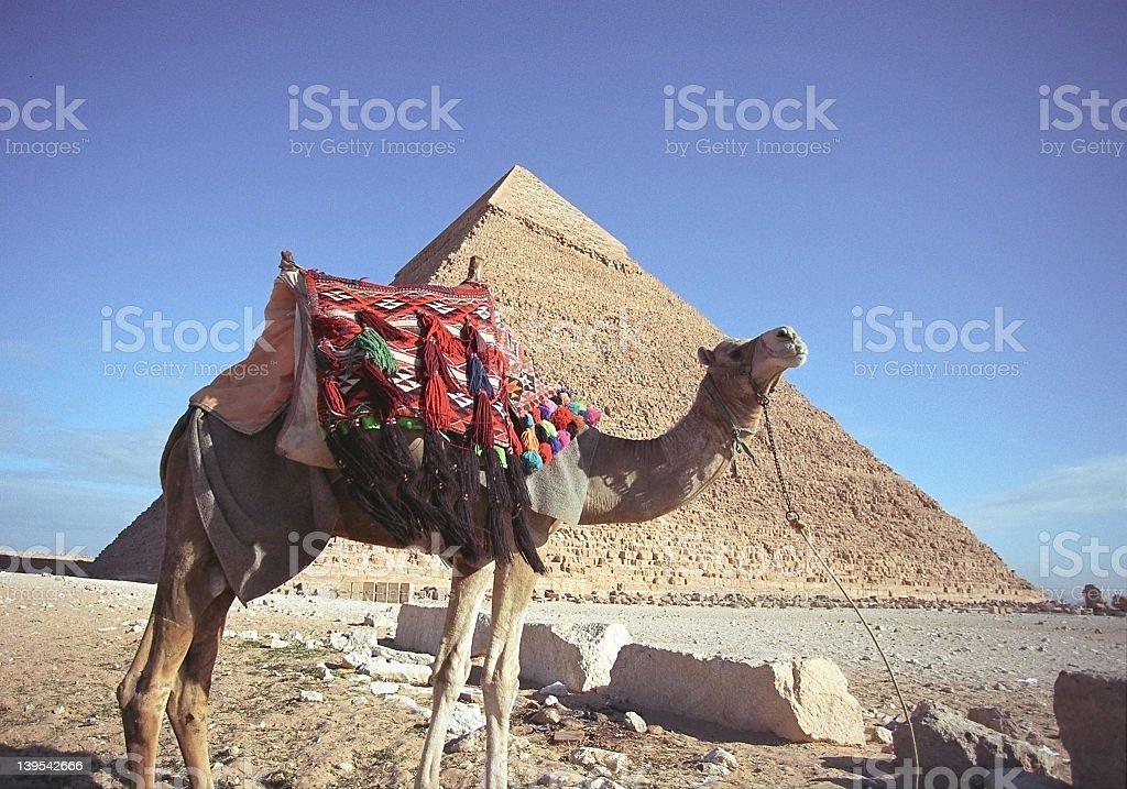 Camel and Pyramid stock photo