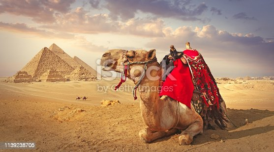 Panoramic view of a resting camel and the pyramids in Giza