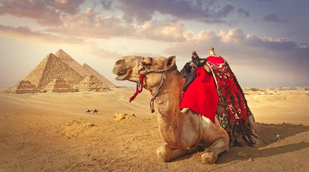kamel och pyramiderna i giza - egyptisk kultur bildbanksfoton och bilder