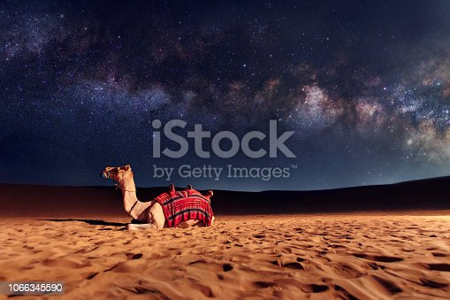 Camel animal is sitting on the sand dune in a desert. Milky Way galaxy and stars in the sky. United Arab Emirates
