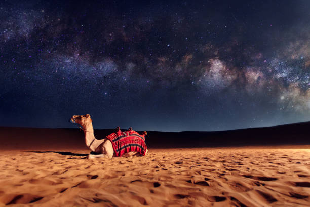 Camel animal is sitting on the sand dune in a desert. Milky Way galaxy and stars in the sky stock photo