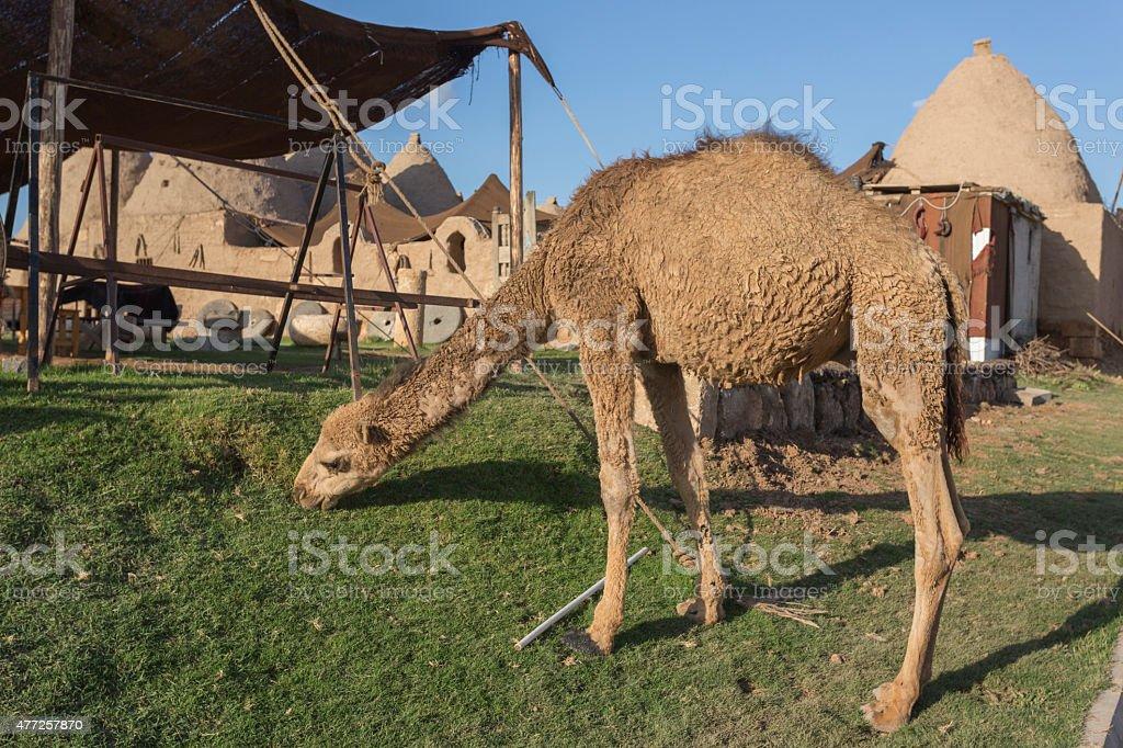 Camel at Harran city, Turkey stock photo