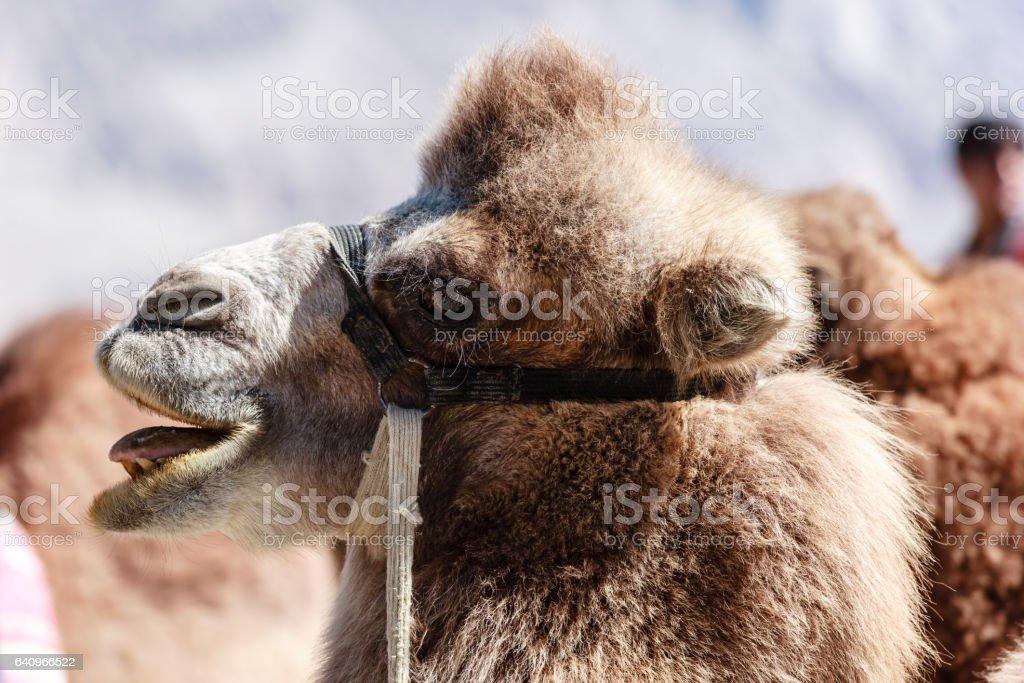 Camel at Nubra Valley stock photo