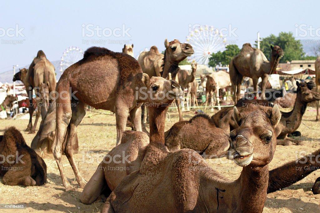 Camel at Pushkar fair royalty-free stock photo