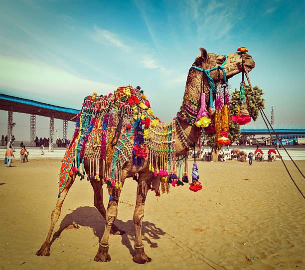 Camel at Pushkar Mela,  Rajasthan, India stock photo