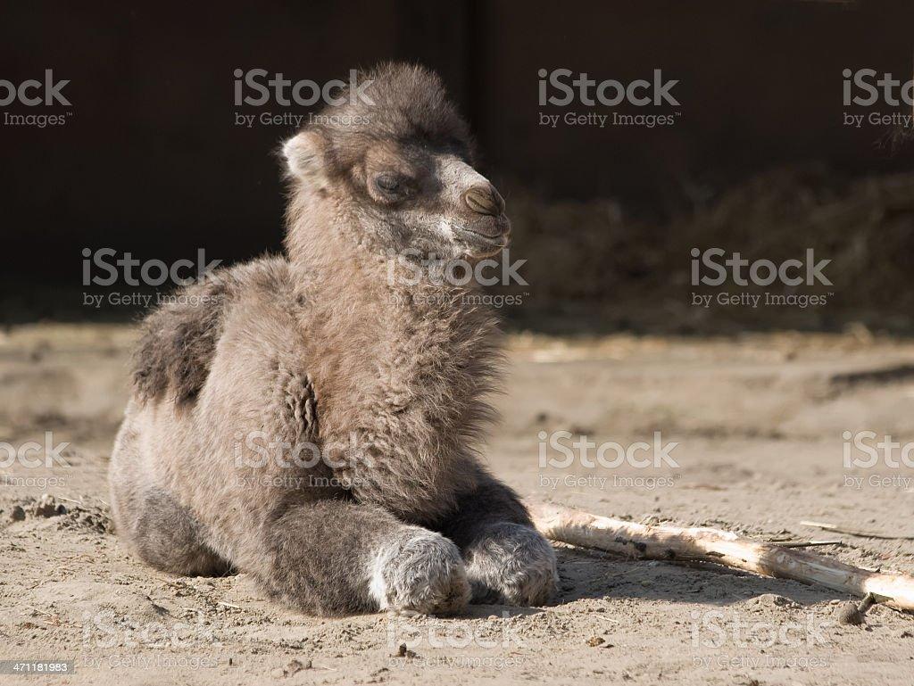 Camel Baby royalty-free stock photo