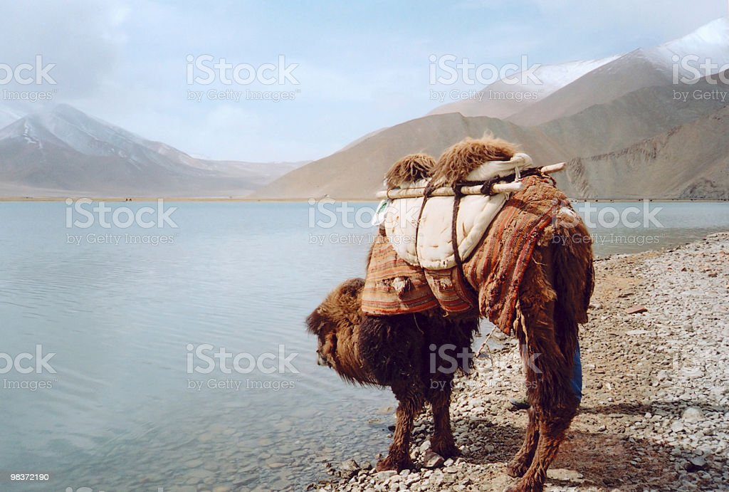 camel beside the lake royalty-free stock photo