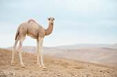 Baby camel standing on a ridge of the hill in desert.