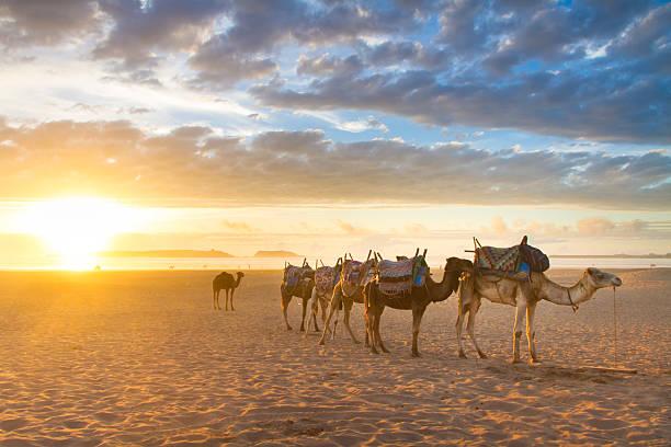 Caravana de camellos en la playa de Essaouira, Marruecos. - foto de stock