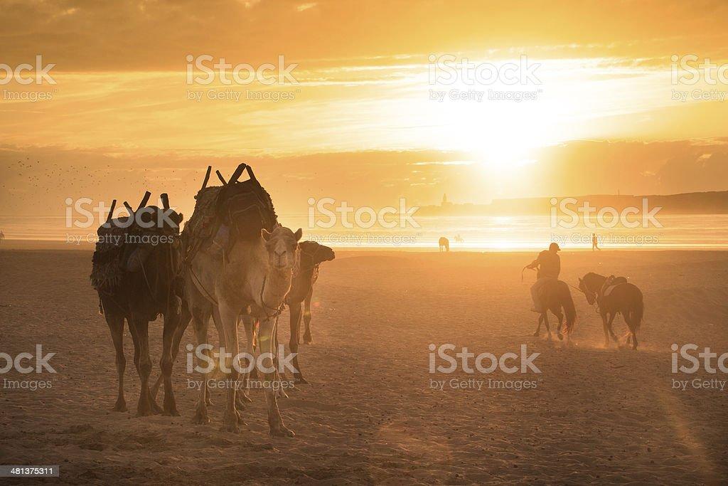 Camel caravan at the beach of Essaouira, Morocco. foto