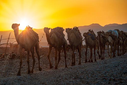 Camel caravan in the Danakil region, Ethiopia