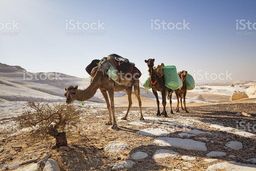 Camel Caravan in the White Desert National Park royalty-free stock photo
